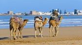 Camel caravan walking in the morning in Essaouria, Morocco — Stock Photo