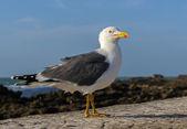 Adult  yellow-legged gull , Essaouira, Morocco — Foto Stock