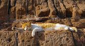 Vilande katt, essaouira, marocko — Stockfoto