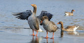 Wild geese in winter, the Netherlands — Zdjęcie stockowe