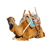 Young dromedary in the saddle, Morocco — Stock Photo