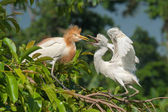 Adult and immature eastern egrets, Indonesia — Stock Photo