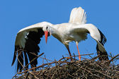 Portrait of an adult stork in courtship, The Netherlands — Stock Photo