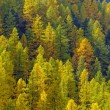 Larch forest in autumn on the slopes of the Swiss Alps — Stock Photo #47815115