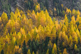 Larch forest in autumn on the slopes of the Swiss Alps — Stock Photo