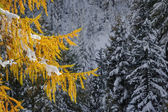 Yellow larch branch on a background of snow-covered forest, Switzerland — Stok fotoğraf