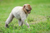 Young Barbary macaque a semi-free park, The Netherlands — Stock Photo