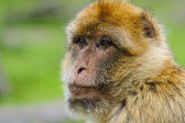 Portrait of adult Barbary macaque, The Netherlands — Stock Photo
