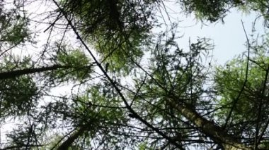 Forest (trees spruce) - shot on treetop — Stock Video