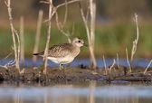 Pluvialis squatarola - The Grey Plover — Foto Stock