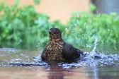 Turdus merula - The Common Blackbird — Stock Photo