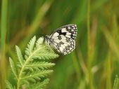 Melenargia galathea - el mármol blanco — Foto de Stock