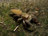 Salticidae - Jumping spider — Stock Photo