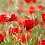 Постер, плакат: Red poppies in a green field