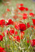 Red poppies in a green field — Stock Photo