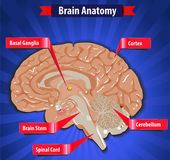 Brain function, human brain anatomy with Basal Ganglia, Cortex, Brain Stem, Cerebellum and Spinal Cord- vector eps10 — Stock Vector