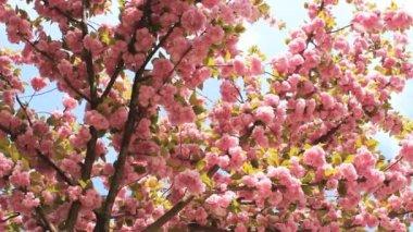 Cherry Blossom — Stock Video