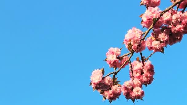Fleur de cerisier — Vidéo