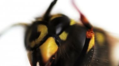 Wasp macro — Vídeo stock