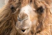 Dromedary (Camelus dromedarius) — Stock Photo