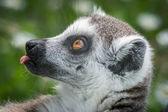 Ring-tailed lemur (Lemur catta) — Zdjęcie stockowe