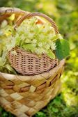 Medical linden flowers in a rustik  basket — Stock Photo