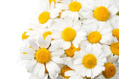 Daisies isolated — Stock Photo