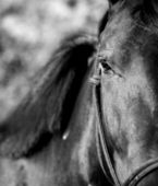 Horse eye head black white — Stockfoto