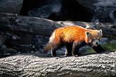 Red panda — Zdjęcie stockowe