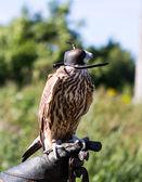 Falcon falconer glove head — Stock Photo