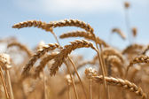 Dry wheat ears before harvesting — Stock Photo