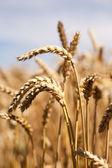 сухие колосья до сбора урожая — Стоковое фото
