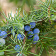 Juniper berries — Stock Photo #44735305