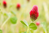 Crimson Clover close-up — Stock Photo