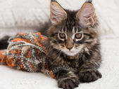 Maine coon kitten between pillows — Stock Photo