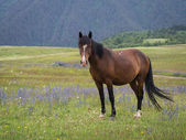 Horse on a meadow in Omalo — Stock Photo