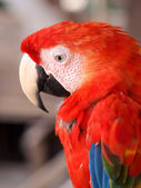 Scarlet Macaw in the Amazon Jungle — Stock Photo