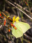 Common Brimstone on a forsythia flower — Stock Photo