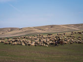 Shepherds with their sheep close to David Gareja in Kakheti — Stock Photo