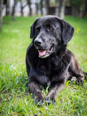Old black dog lying in the grass — Stock Photo