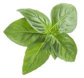 Basil leaves — Stock Photo