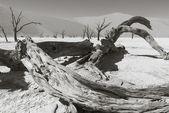 Dead trees in the Namib Desert — Stock Photo