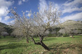 Almond forest — Stock Photo