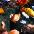Photo of a tropical fish — Stock Photo #44601467