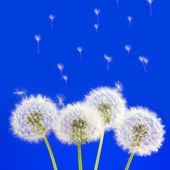 Dandelions — Stock Photo