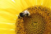 пчела на подсолнечник — Стоковое фото