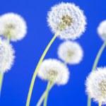 Постер, плакат: Dandelions on blue