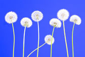Dandelions on blue — Stock Photo