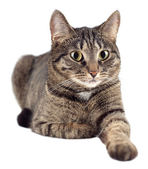 Portrait of tabby cat isolated on white background. — Stock Photo