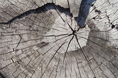 Cross Section of Old Tree Trunk Showing Growth Rings. Texture Background. Pear Tree Stump. — Stock Photo